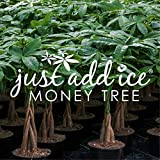Just Add Ice Money Tree