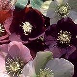 Viridis Hortus - 10 Helleborus Cottage Mixed Perennial Flower Seeds
