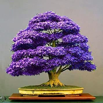 Azalea gardens 10 pcs Purple Maple Bonsai suitable Tree Seeds Japanese Maple Plant seeds