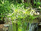 50 Umbrella Palm Flower Seeds UMBRELLA PLANT CYPERU Alternifolius Papyrus Grass