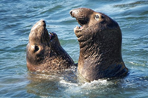Elephant Seal Tete a Tete Conversation at San Simeon California Photo Art Print Poster 18x12 inch (Best Hearst Castle Tour)