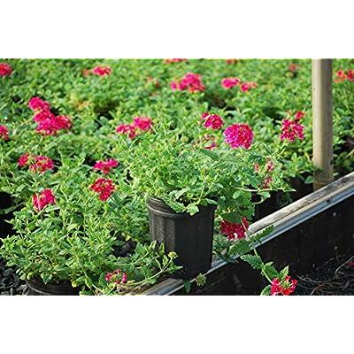 Perennial Farm Marketplace Verbena EnduraScape 'Hot Pink' (Vervain) Perennial, Size-#1 Container, Bright Fushia Flowers : Garden & Outdoor