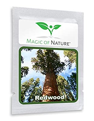 California Redwood Tree 25 Seeds - A Living Monument (Sequoiadendron gigantea)