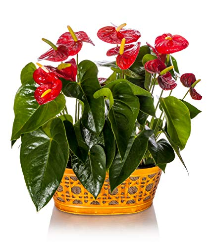 Happy Hearts Anthurium Garden 15-Inch To 18-Inch Tall In Yellow Tin Container, From Hallmark Flowers from Hallmark Flowers