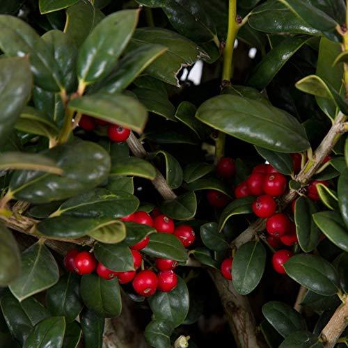 - 2.5 Qt - Dwarf Burford Holly(ilex cornuta 'burfordii') - Evergreen Shrub with Glossy Green Foliage