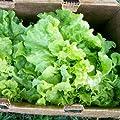 "400 Seeds, Lettuce ""Black Seeded Simpson"" (Lactuca sativa) Seeds By Seed Needs"