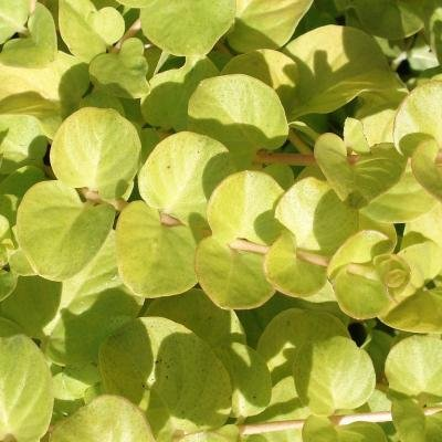Classy Groundcovers - Golden Creeping Jenny Gold Moneywort {25 Pots - 3 1/2 in.}