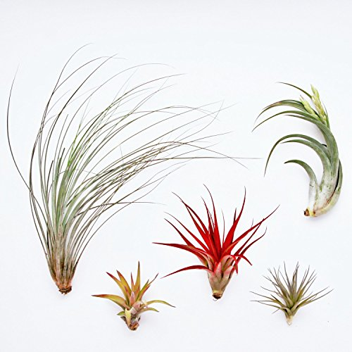 12 Pack Classic Variety Tillandsia Assortment - 30 Day Guarantee - Wholesale - Bulk - Fast Shipping - House Plants - Succulents - Free Air Plant Care Ebook By Jody James