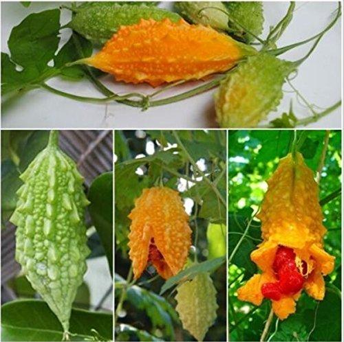 Hot Selling! Vegetable seeds Momordica charantia Bitter gourd, Balsam apple, Bitter cucumber, Herbs Family garden 20pcs