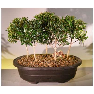 Bonsai Boy's Flowering Brush Cherry Bonsai Tree Five Tree Forest Group eugenia myrtifolia: Garden & Outdoor