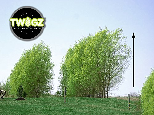 7 Big Aussie Privacy Hybrid Willow Trees - Approx. 2 feet Tall and 1-2 Inches Thick, Ready to Plant - Fast Growing Privacy Shade Trees.