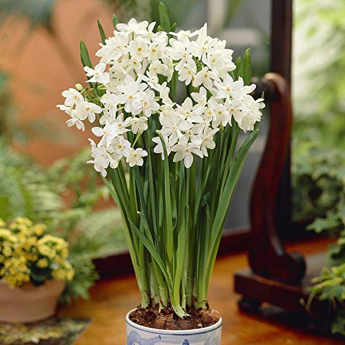 Bloomsz 05936 Paper-Whites Bulbs Plant (7 Pack) Ziva - Narcissus Paper White