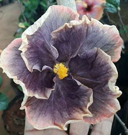 Amazon 20 Rare White Black Hibiscus Seeds Giant Dinner Plate