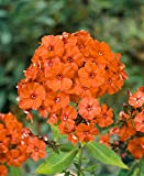Phlox paniculata Orange Perfection (3 ROOTS) Summer Phlox (Plant/ Root)