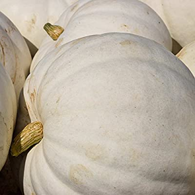 Pumpkin Garden Seeds - Full Moon - 100 (treated) Seeds - Non-GMO, Heirloom Pumpkins - White - Vegetable Gardening Seed