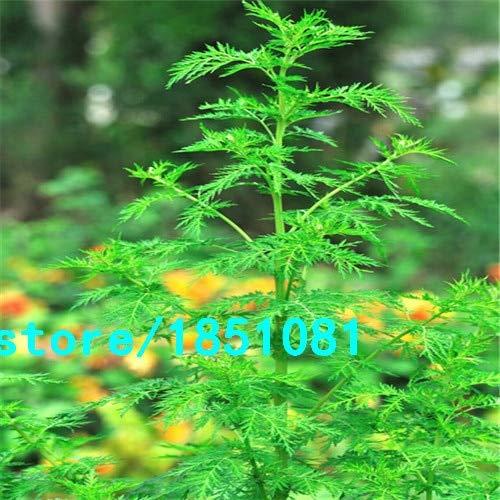Shopmeeko Th/ã/© Chinois s/Ã/©ch/Ã/© Artemisia annua 100 tisanes Naturelles Qing Hao Temps Chaud Refroidissement Traitement antipaludique de la jaunisse Pourpre