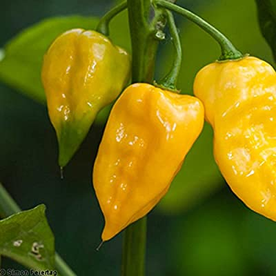 Lemon Habanero Hot Pepper Garden Seeds - Non-GMO, Heirloom Vegetable Gardening Seed