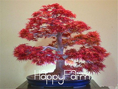 Japanese Red Maple Bonsai Tree Cheap Seeds, mini bonsai Seeds, 50 Seeds 11 kinds mixed, Very Beautiful Indoor Tree,#BR3KL (Japanese Plants Flowers)