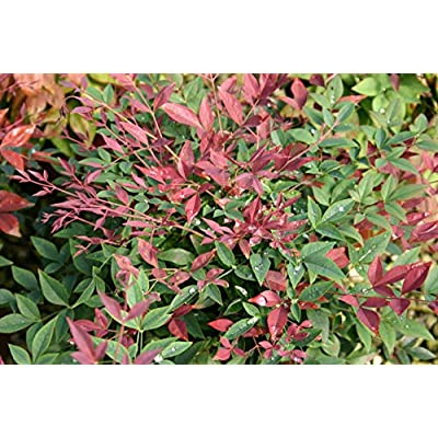 Southern Living Obsession Nandina 2 Gal, Bright Red Foliage : Garden & Outdoor