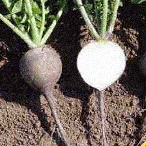 Everwilde Farms - 500 Black Spanish Round Radish Seeds - Gold Vault Jumbo Seed Packet (Black And Spanish)