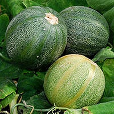 Minnesota Midget Melon Seeds (50 Seeds) : Garden & Outdoor