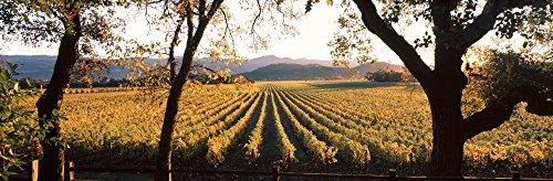 Vines in a vineyard Far Niente Winery Napa Valley California USA Poster Print (12 x 36)