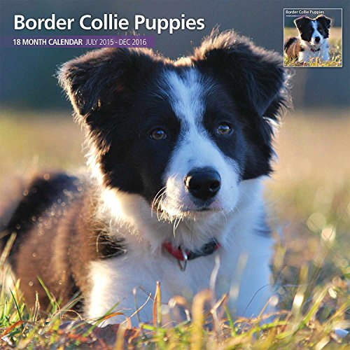 Border Collie Puppies 18 Month 2016 Traditional Wall Calendar