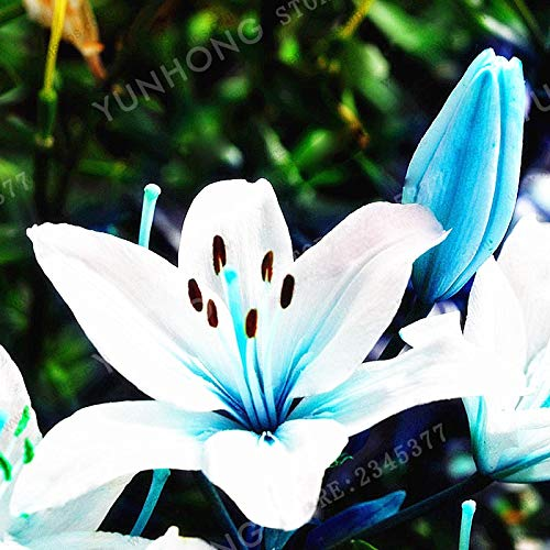 10 Bulbs: Blue Heart Lily Bulbs, not Seed, Rare Lily Bulbs, Royal Blue Heart Lily Flowers