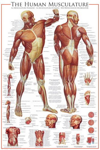 HUGE LAMINATED/ENCAPSULATED The Human Musculature POSTER measures approx 36x24 inches (91.5x61cm)