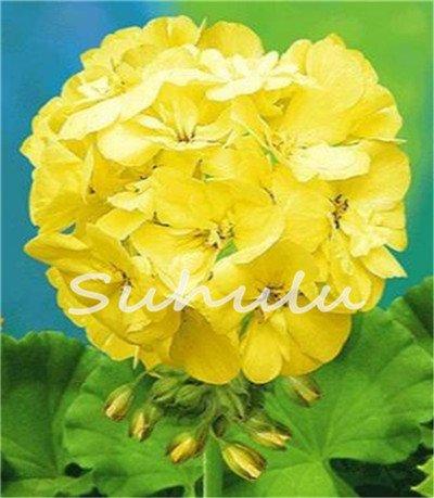 Big Promotion! 30Pcs Rare Yellow Edge Geranium Seed,Perennial Flower Seeds Pelargonium Peltatum Flowers Bonsai Plant for Garden 7 SVI