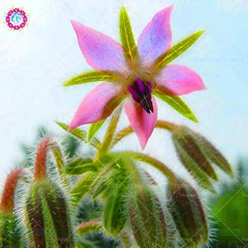 20PCS rara semilla de borraja azul Bonsai Flores Semillas de hortalizas y cocina condimentos plantas comestibles semillas de vainilla Perenne 3: Amazon.es: Jardín