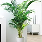 Trothic Live Areca Palm Plant in Pot For Indoor Balcony,Outdoor