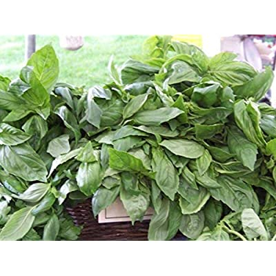 Toyensnow - Basil, Licorice, Rare Scented Basil, Culinary herb (675 Seeds) : Garden & Outdoor