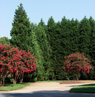Leyland Cypress Trees- Fast Growing Evergreen Privacy Trees- Large 6 ft. Trees for Instant Privacy- Stays Green All Year