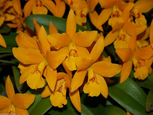 Lc. Gold Digger 'Fuchs Mandarin' NEW! Great Display plant! Spring Bloomer! Orchid Plant by Kawamoto Orchid Nursery