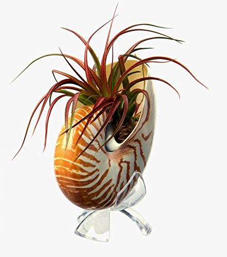 Hinterland Trading Air Plant Tillandsia Brachycaulos Miniata with Nautilus Shell and Acrylic Stand Stunning