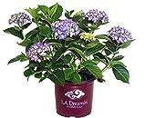 Hydrangea mac. L.A. Dreamin' (Bigleaf Hydrangea) Shrub, RB Pink & Blue, 3 - Size Container
