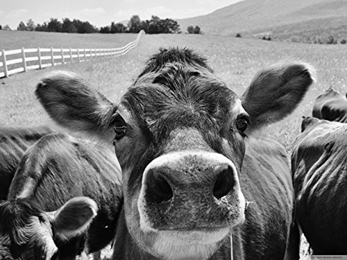 Cow close up, Black and white photographic print, jersey cow animal photography, quirky cow photo, cow lover wall art