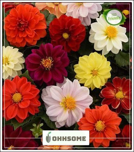 - Shopmeeko Seed Decorative Dahlia Annual Blooming s Flower Seeds Mixed Everblooming Flowers Garden Seeds Seed (20 per Packet)