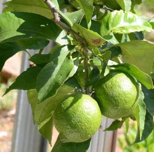 THAI TROPICAL heilsame Wirkung Obst Pflanzensamen Pinkdose Lime Tree Seeds