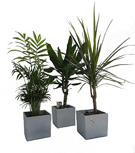 Amazon.de Pflanzenservice Zimmerpflanzen Palmen-Trio im Scheurich Würfeltopf grau-stone, circa 14 x 14 x 14 cm, 3 Pflanzen und 3 Töpfe, grün