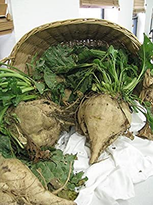 Vegetable Seeds - 30 Seeds of Beet Sugar Giant White Beet for Plot & Survival