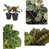Maranta 1 Red and 1 Green Prayer Plant Easy to grow 4'' Pot Best Gift Houseplants