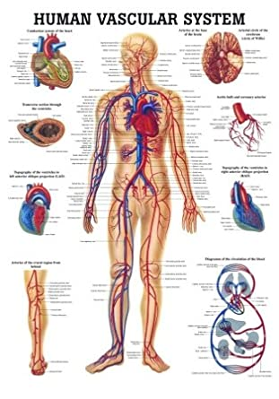 Anatomical Worldwide CH06 The Human Vascular System Laminated ...