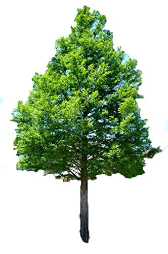 Bald Cypress - Taxodium distichum - Healthy Established Roots - 1 Gallon Trade Potted - 1 Plant by Growers Solution