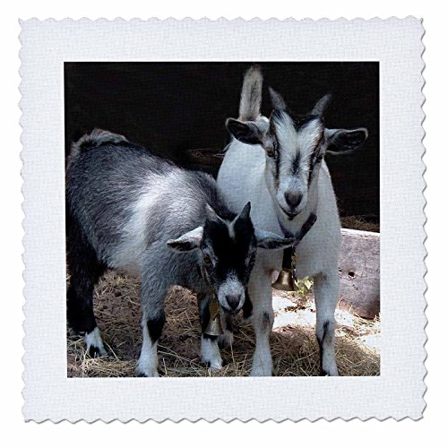 3dRose Pygmy Goat - Quilt Square, 10 by 10-Inch (qs_1068_1)