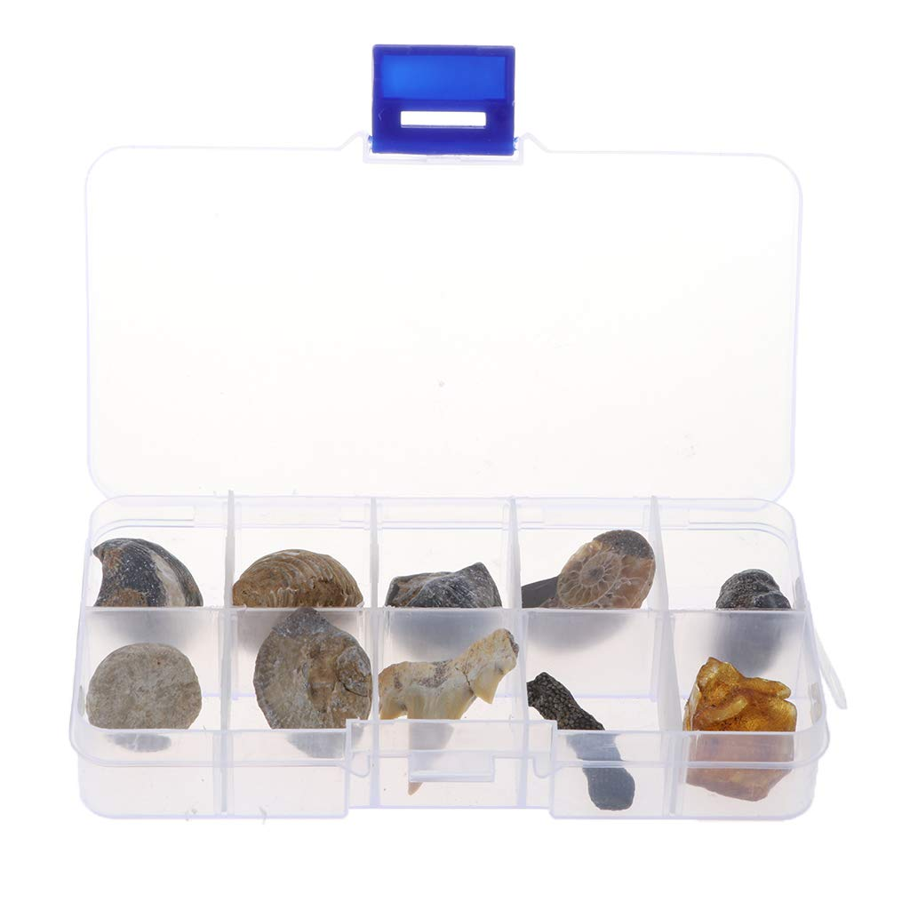 Fenteer 10Pcs Ancient Fossils Identification Kit, Natural Fossils Specimens Collection School Teaching Aids