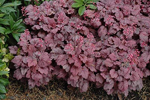 5 Heuchera'' Grape Soda'' - Coral Bells - Live Rooted Plant - Perennial