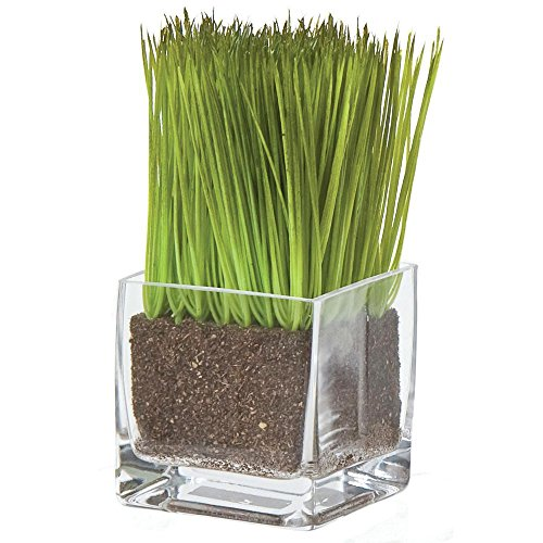 Lemon grass herb sprouts in vase 3 w x 6 1 2 h food for Allstate floral and craft