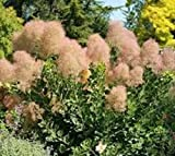 Young Lady Pink Smokebush Tree (cotinus) - Live Plant - Quart Pot